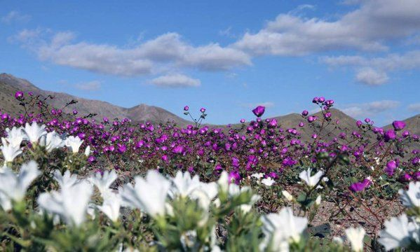 El Niño cobre com flores o deserto mais seco do mundo