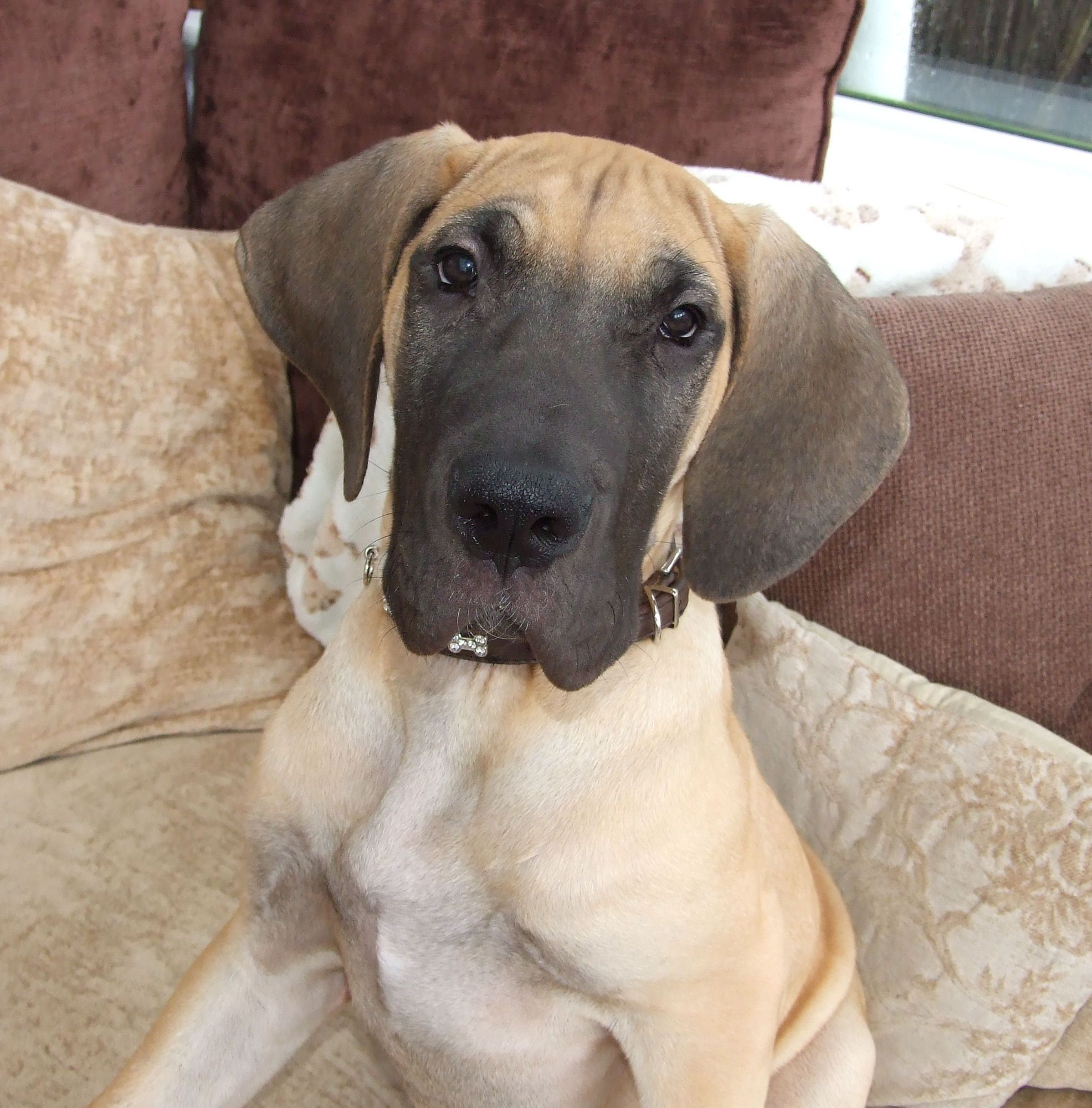 16 Week Old Fawn Great Dane Lurve My Lapdog Lap Dogs