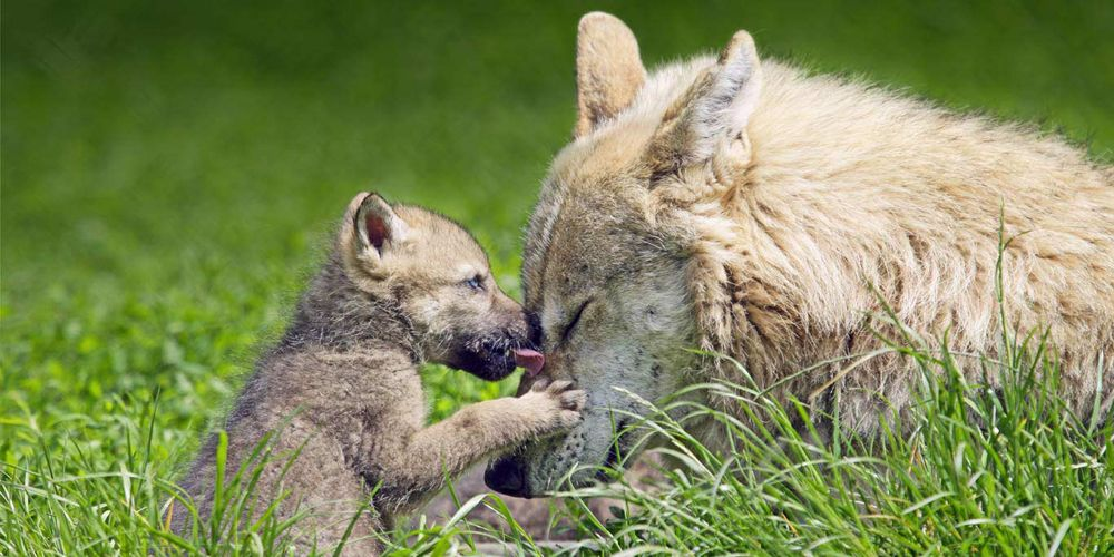 Wolves And Their Charming Miniature Versions (12 Pics)