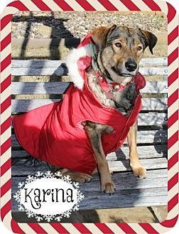 Arlington Tx Australian Shepherd Husky Mix Meet Karina A Dog