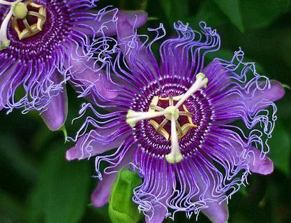 Pin By Audubon Park Garden District On Florida Native Plants Passion Flower Flowering Vines Purple Passion Flower