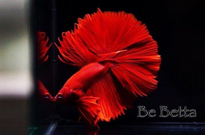 #bebetta #betta #bettafish #fish #wildbetta