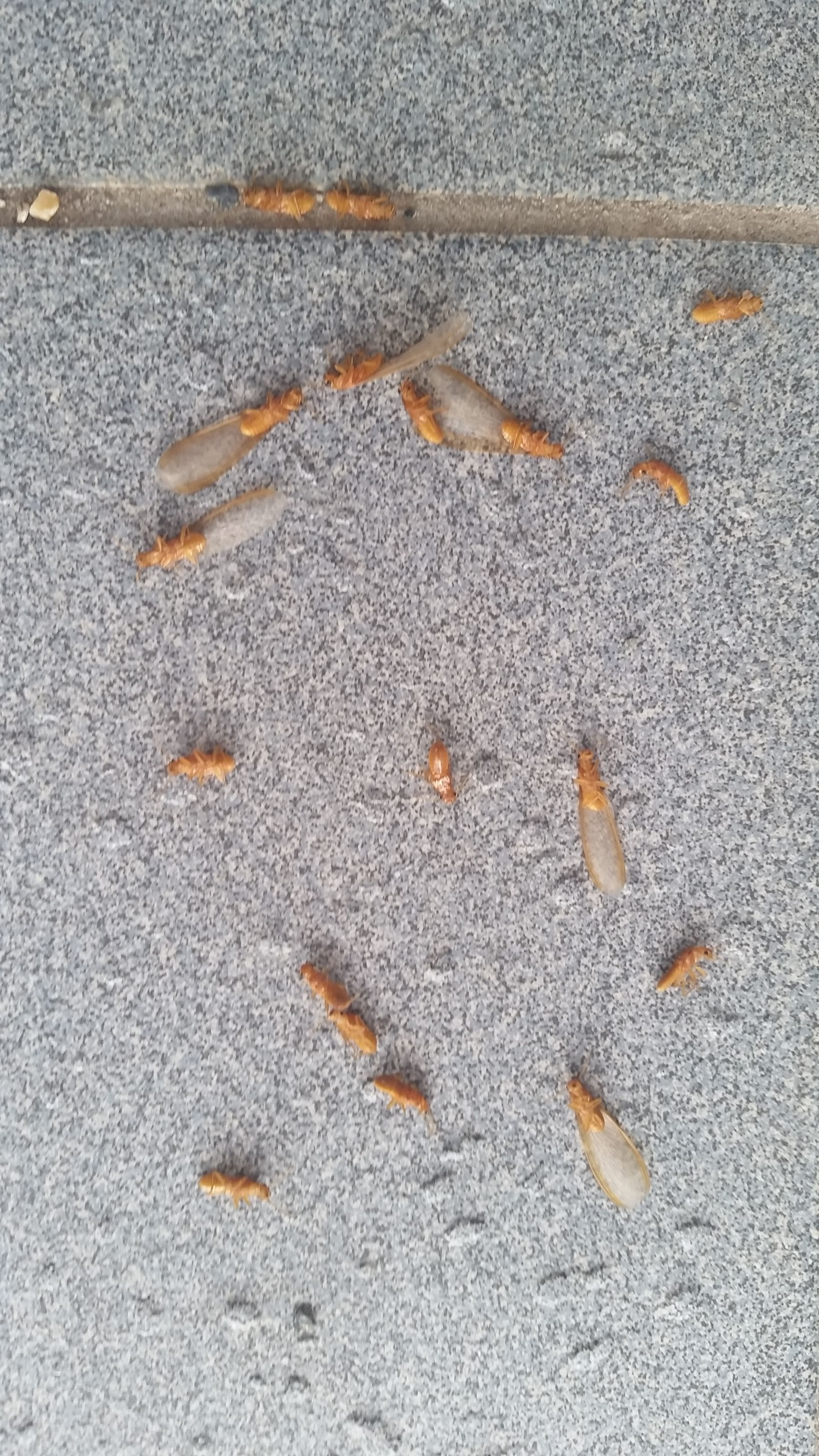 Check This Out We Were Greeted By A Pile Of Alates Winged Termites At Our Office Front Door This Morning With So Termite Treatment Termites Termite Control