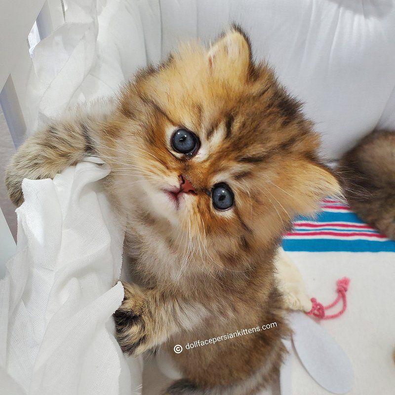 Loki Shaded Golden Persian Kitten In 2020 Persian Kittens Teacup Persian Kittens Kittens Coloring