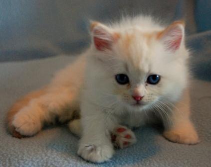 Red Ragdolls Ragdoll Cat Breed Ragdoll Cat Beautiful Kittens