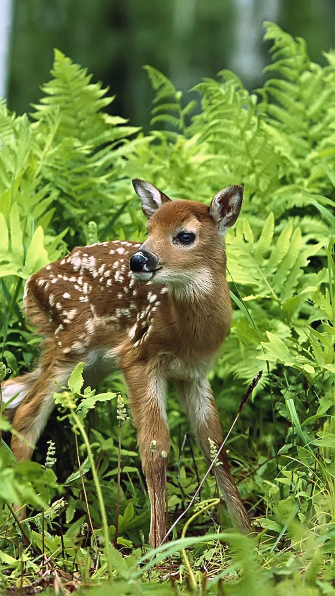 Wallpaper Download 1080x1920 A Sweet Baby Deer In The Grass Forest Wild Animals Wallpapers