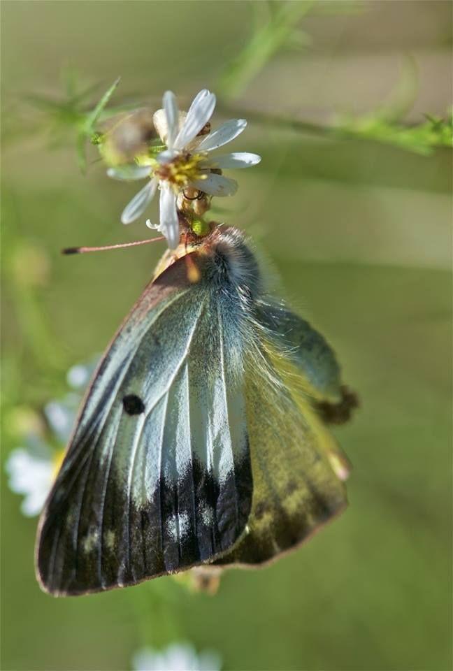 Pin De Cheryl Wilson Em Butterflies Are Free Borboleta