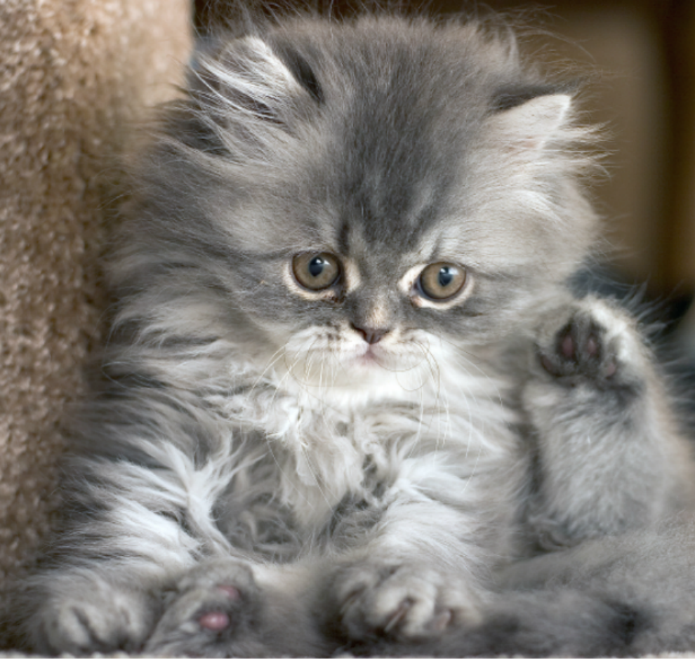 Naughty Grey Tabby Kittens Cute Baby Animals Cute Animals