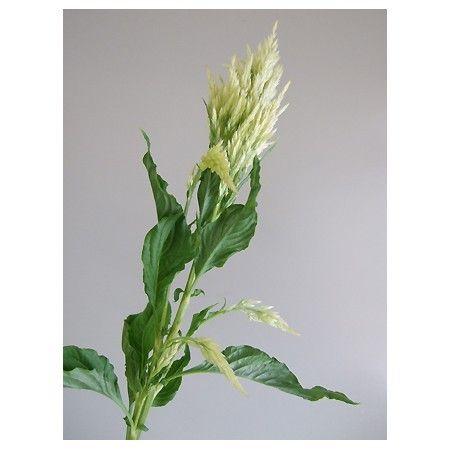 【生花】ケイトウ シルフィード(グリーン)::80cm程度:切り花・生花 の通販なら - はなどんやアソシエ