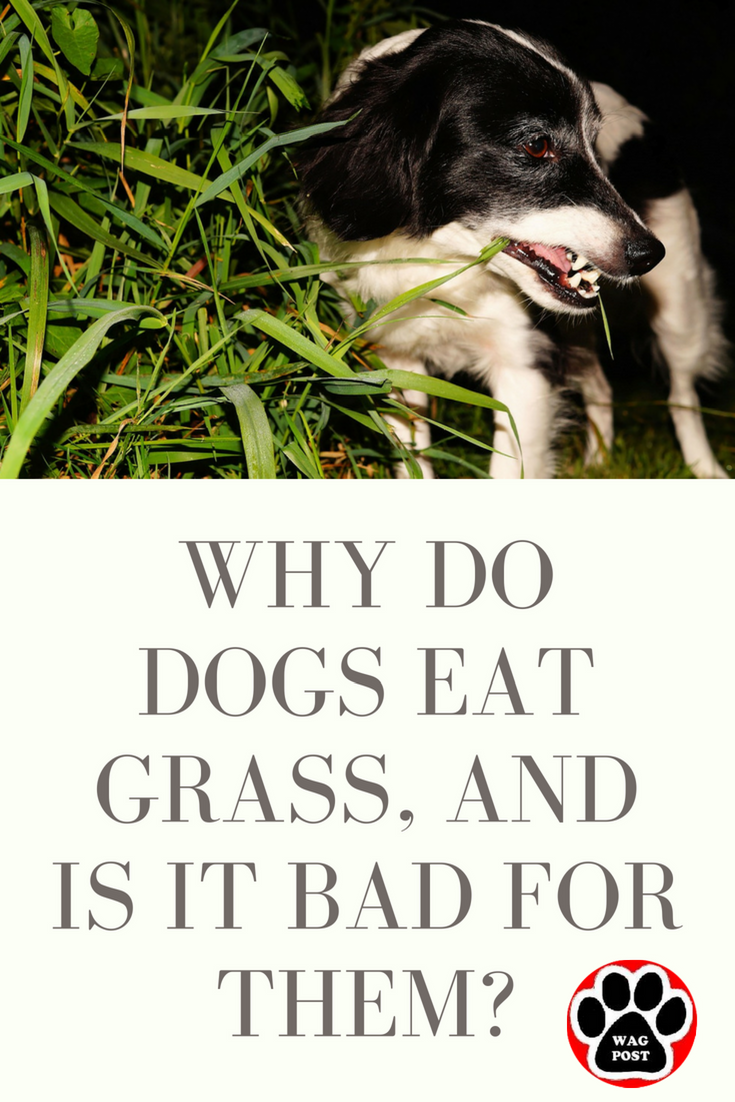 Why Do Dogs Eat Grass And Is It Bad For Them Dogs Eating Grass Dog Eating Foods Bad For Dogs