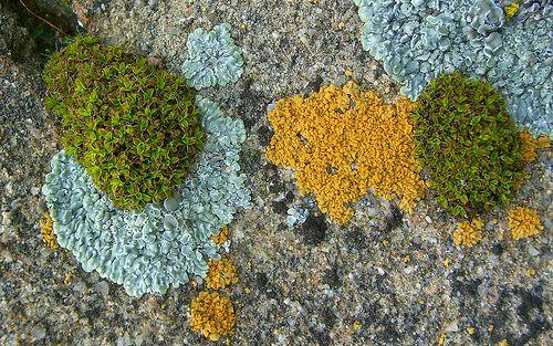 Gorgeous lichen!   Stonewall Rim-Lichen and Bare-Bottom Sunburst Lichen by pellaea, via Flickr