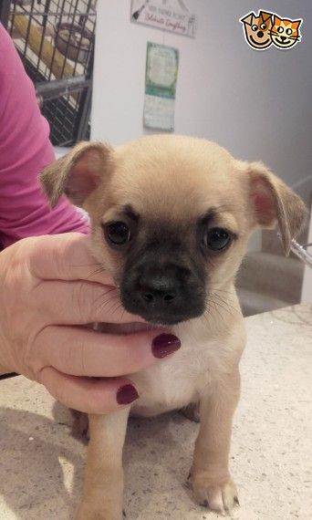 Gorgeous Chihuahua Puppies For Sale Chihuahua Puppies Chihuahua
