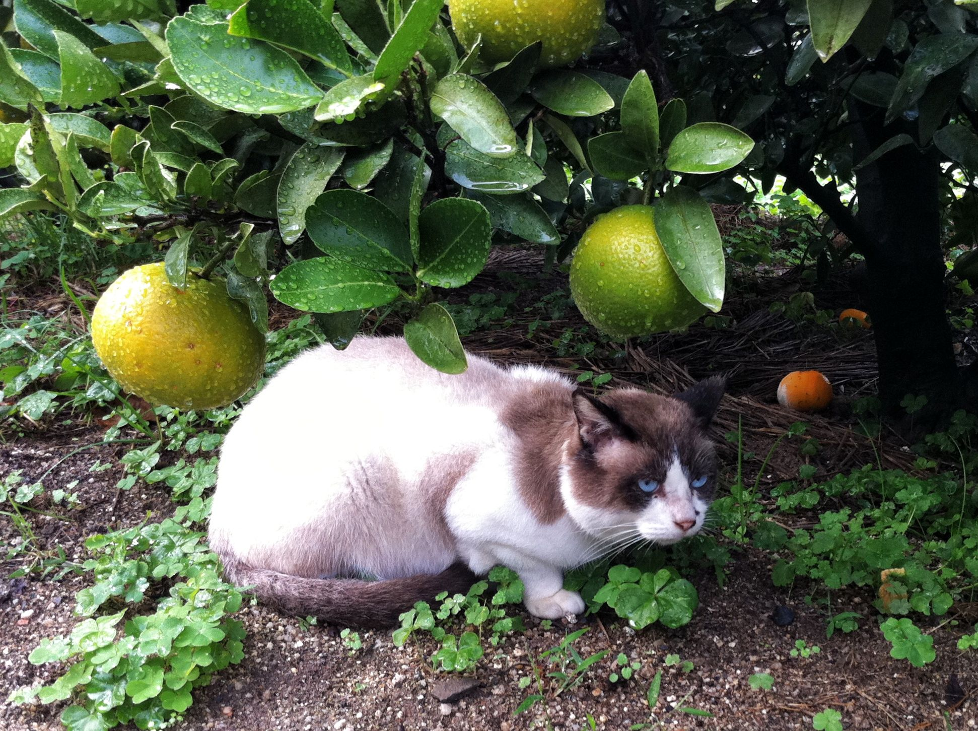 Mandarin oranges! This blue-eyed cat must be in Ehime #cat #Ehime