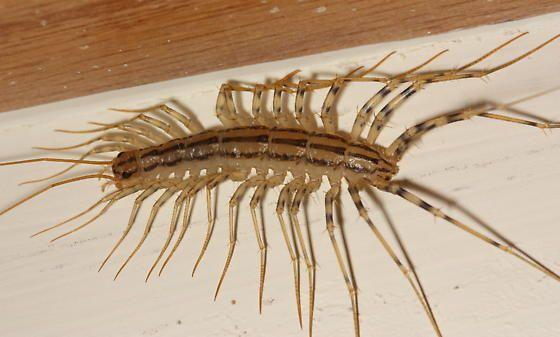 Centipede Scutigera Coleoptrata Centipede Arthropods Insects