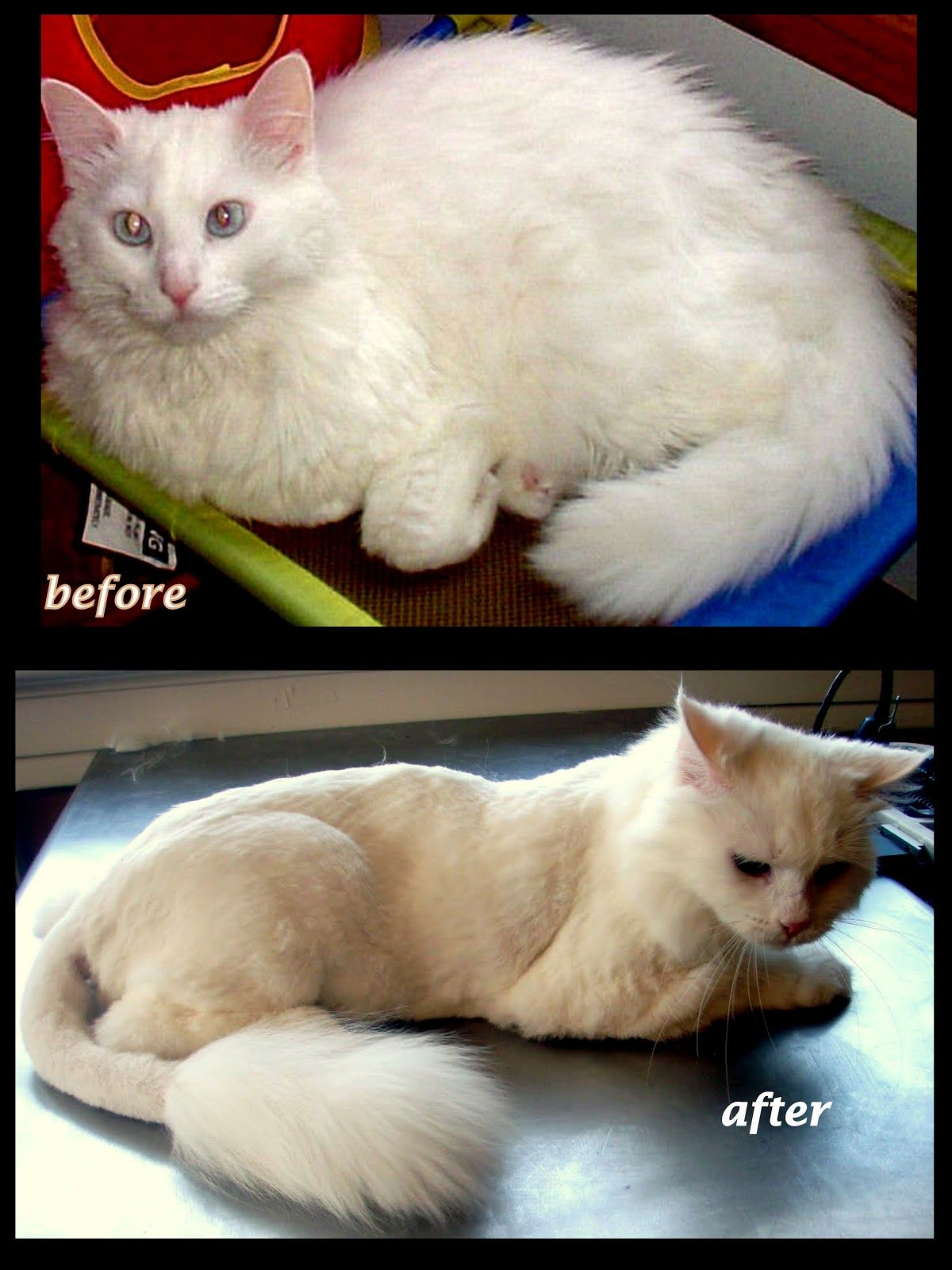 Cat Grooming Before and After Click image to read more