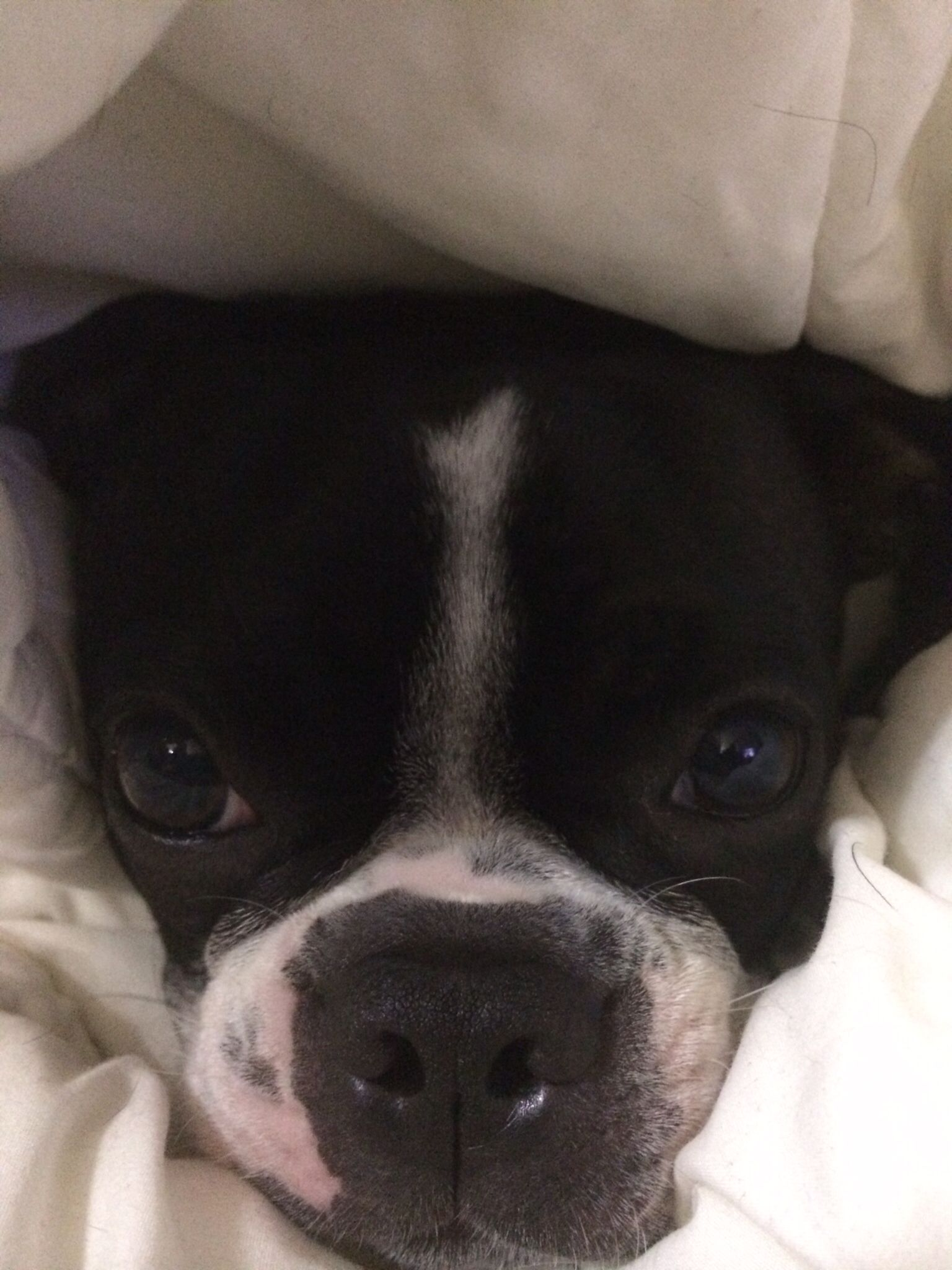 Snuggle bug boston! Luna from Austin TX Snuggles