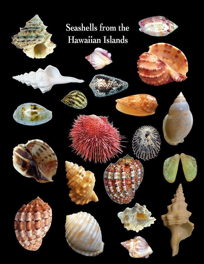pin by hawaiian seashell