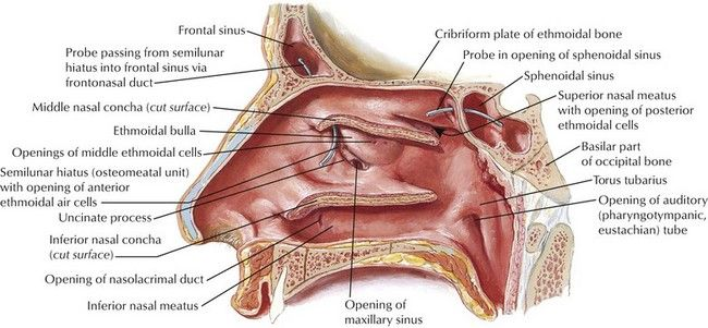 Pin by Rania Abo-elfadl on medical nose | Pinterest | Anatomy ...