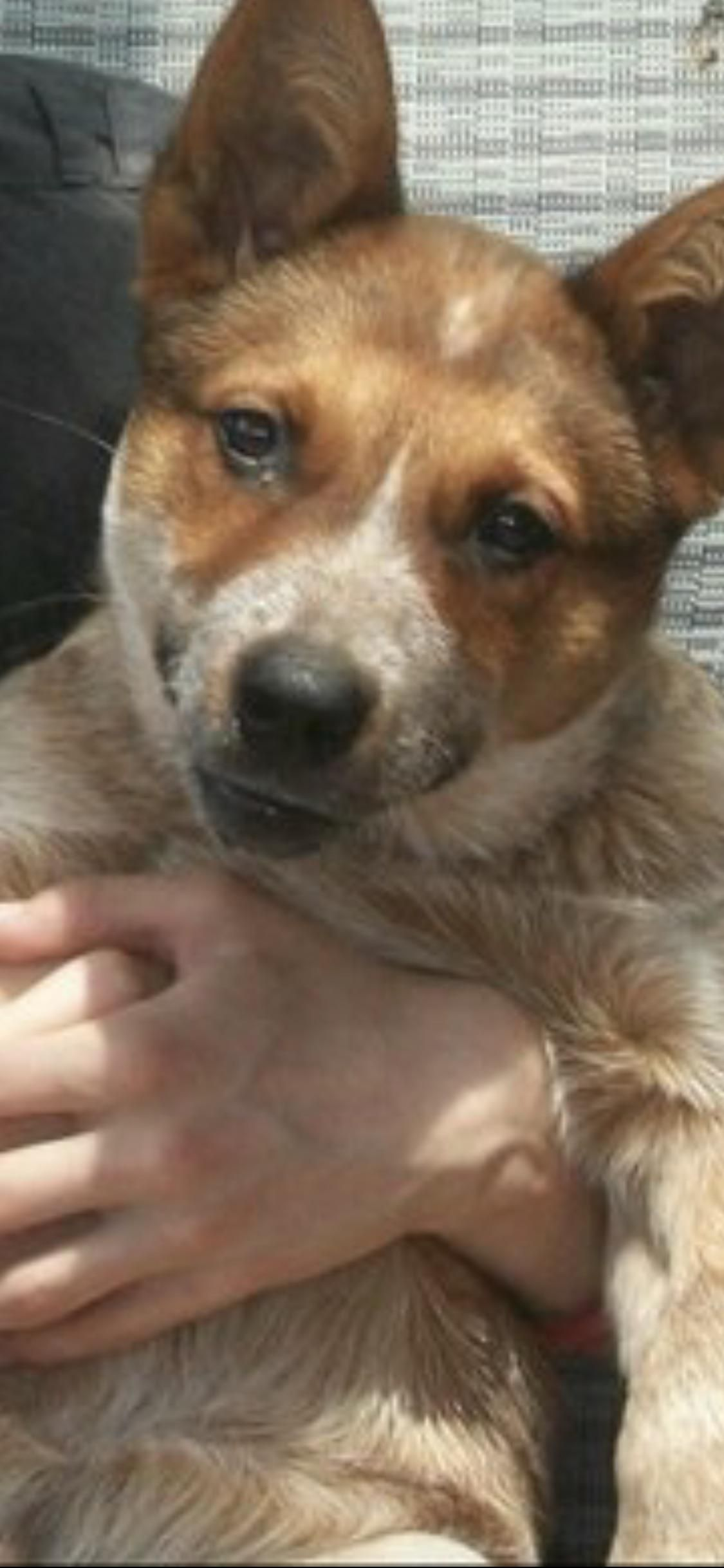 Her Name Is Snickers Because She Is A Cattle Dog Cross Dingo And