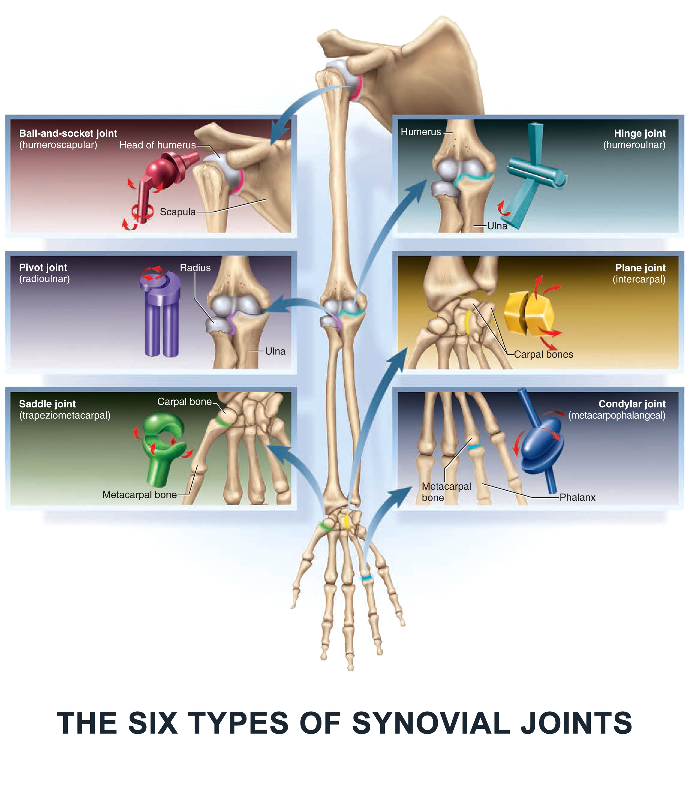 The Six Types of Synovial Joints - #anatomy images illustrations ...