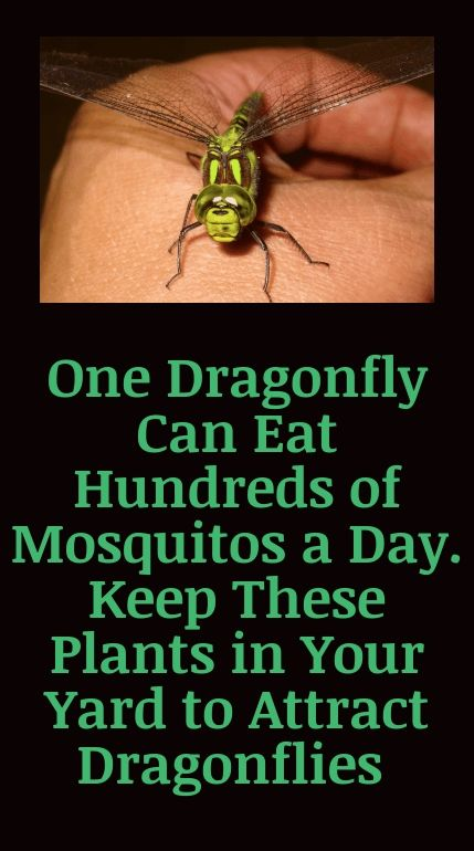 One Dragonfly Can Eat Hundreds of Mosquitos a Day. Keep These Plants in Your Yard to Attract Dragon