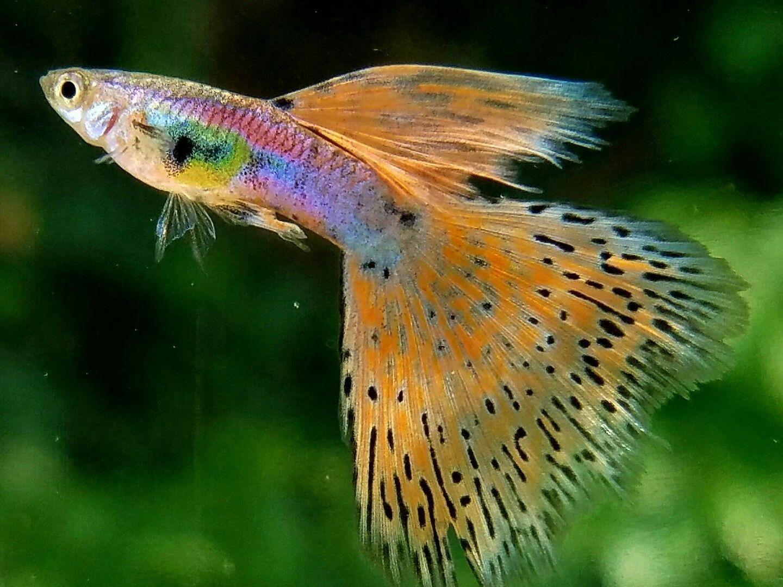Cherry Grass Live Guppy Pair Ebay Zoetwateraquarium Kleurrijke Vissen Vissen