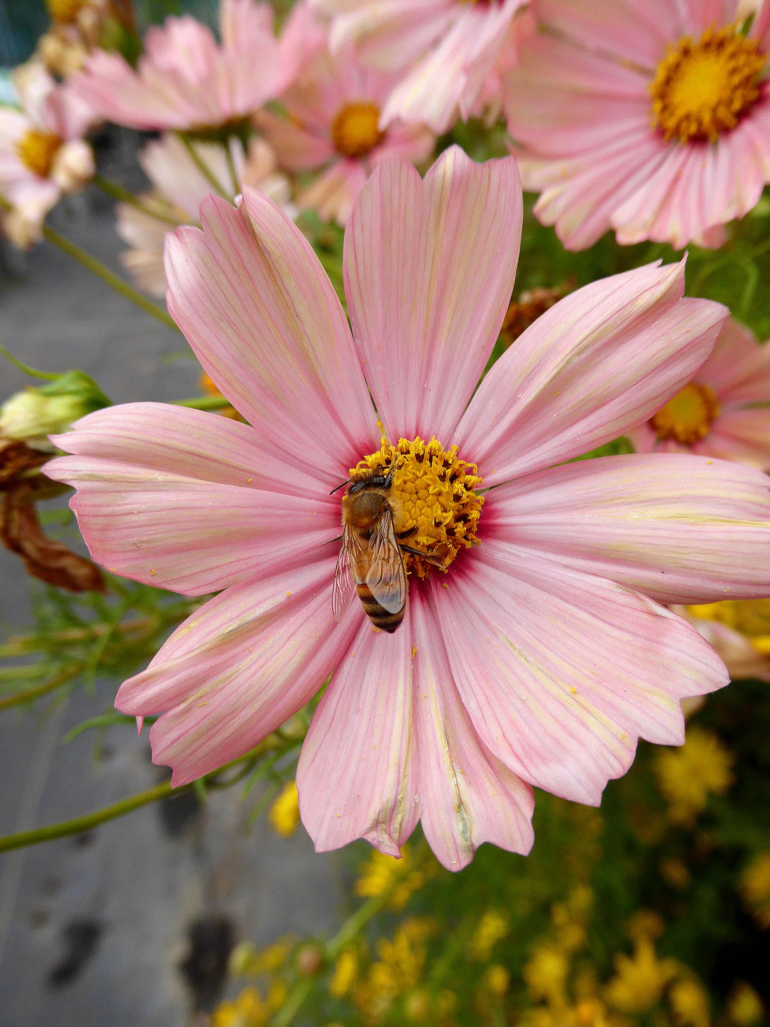 Cosmos Apricot And Bee Cosmos Flowers Cosmos Cosmos Image