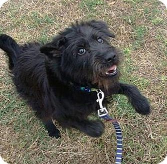 Border Terrier Schnauzer Miniature Mix Puppy For Adoption In S F