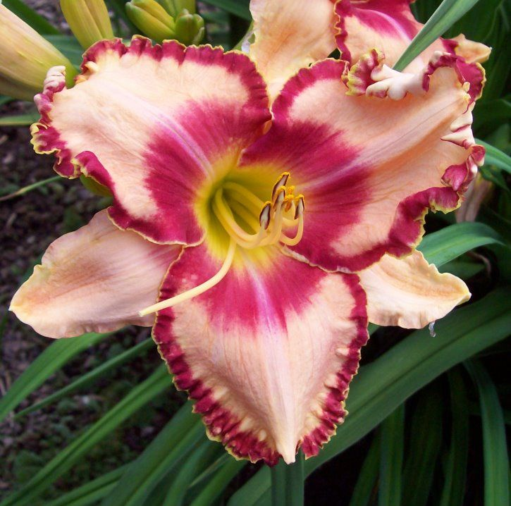 Types Of Lily Names: 2010 Introductions HOW SWEET THE