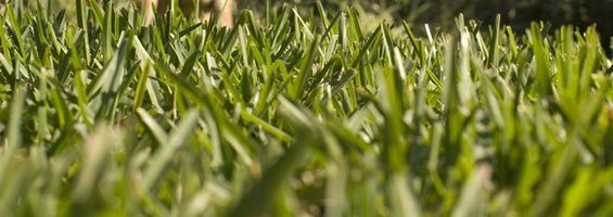 How To Take Care Of St Augustine Grass Grass St Augustine Grass Planting Grass