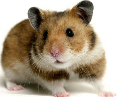 Top 10 Cutest Pets In The World To Have At Home Top 10 Lines Hamster Breeds Bear Hamster Funny Hamsters
