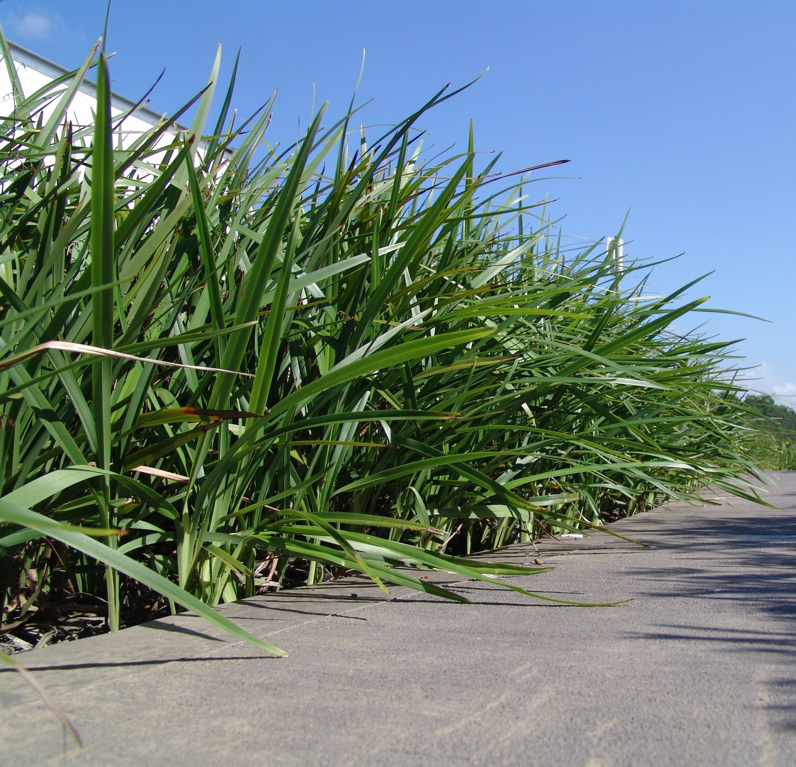 Httplawnclubblog3entry 15 breeze dianella is a breeze dianella is a spreading strappy leaf plant with no canes thecheapjerseys Image collections