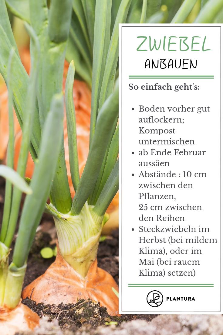 Rote Braune Und Weisse Zwiebeln Herkunft Anbau Und Sorten Plantura Anbau Braune Herkunft Plantura Growing Vegetables Companion Planting Types Of Onions