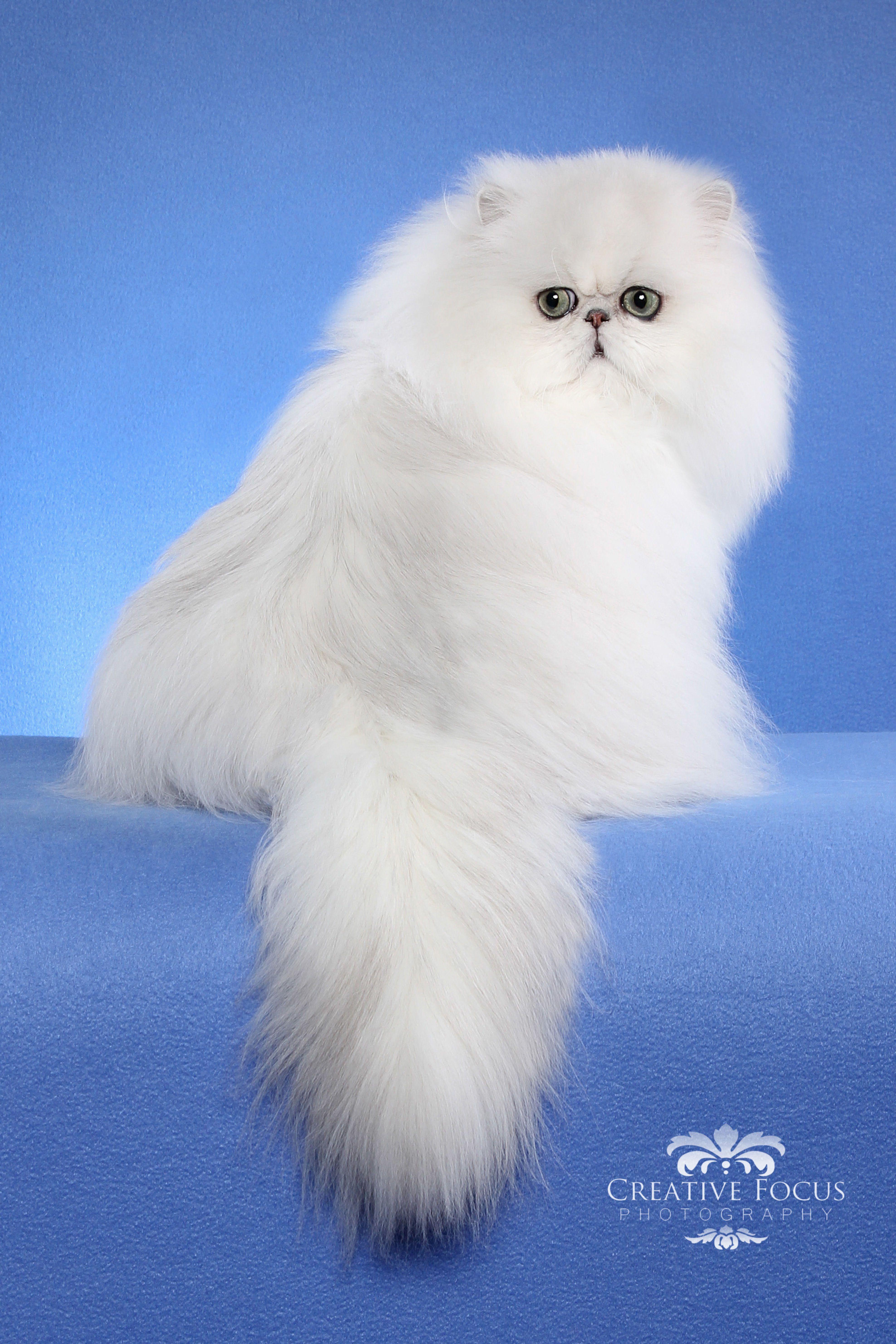 Persian Persian cat white, Cats, Beautiful cats
