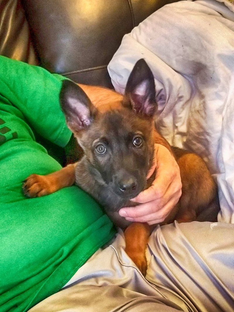 Belgium Malinois puppy Sable with black mask www