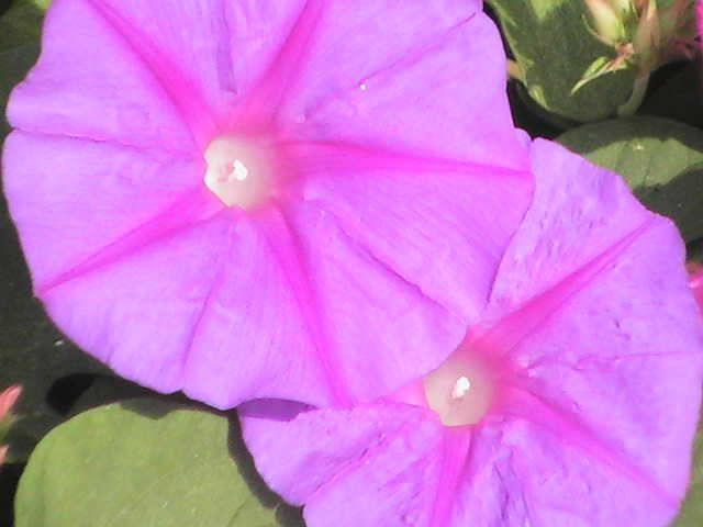 Morning Glories Flower Photos Spanish Flowers Morning Glory