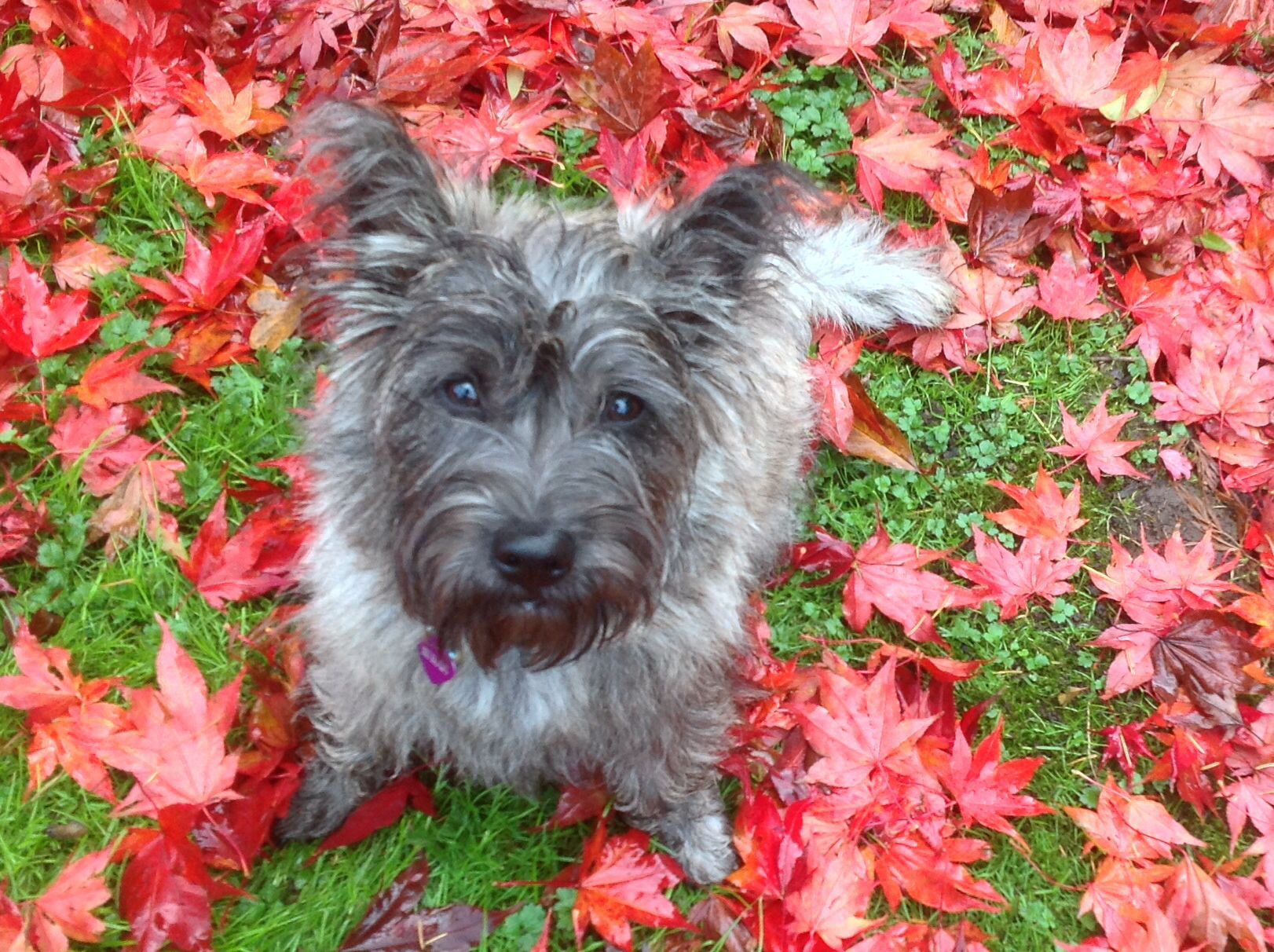 Talulah In The Fall Cairn Terrier 7 Months Norwich Terrier