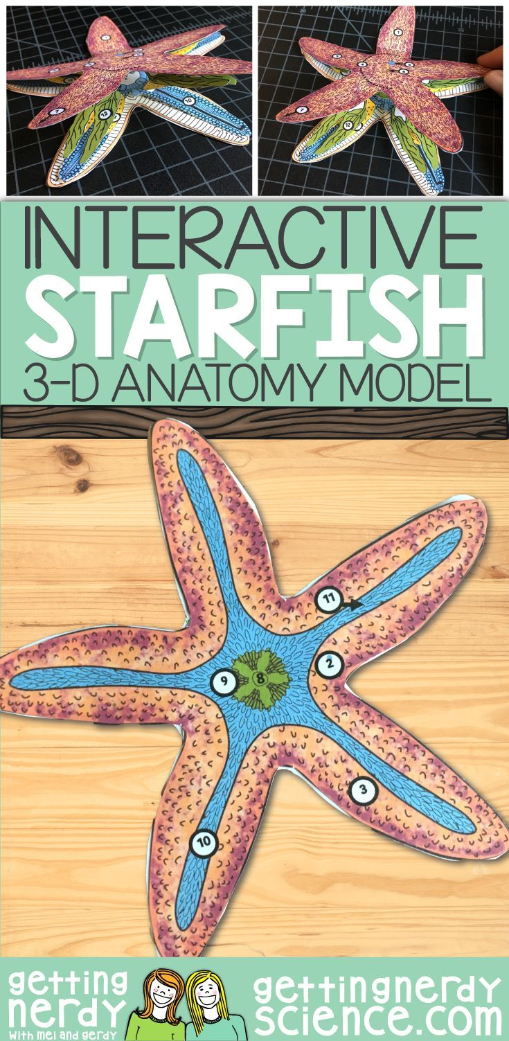 This 3-D starfish dissection anatomy model can be used as a ...