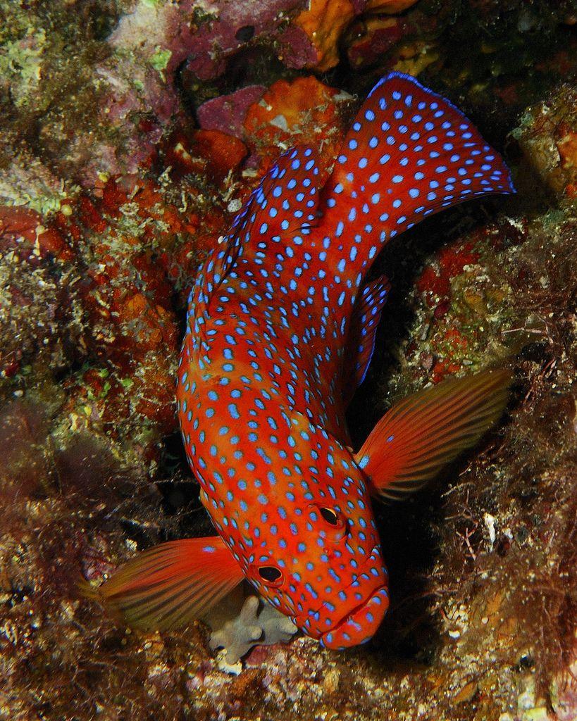 Coral Trout Best Aquarium Fish Ocean Creatures Coral Reef Animals