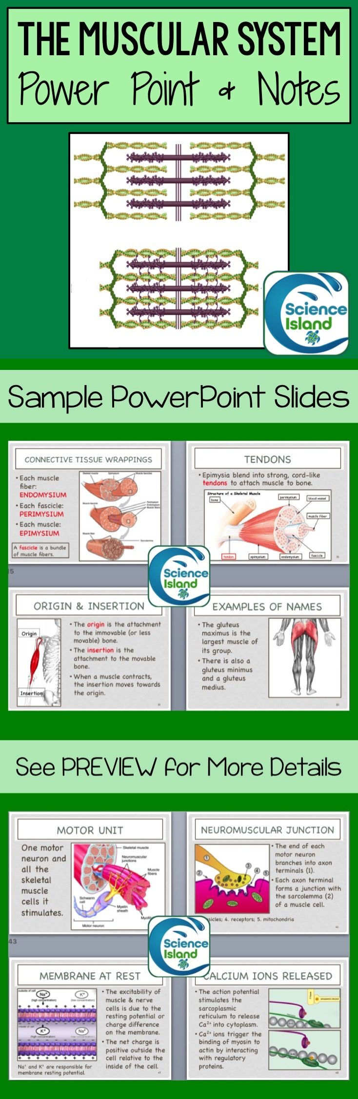 Muscular System PowerPoint Lesson and Notes - Anatomy
