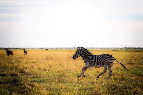 Zebra galloping, Savuti Photo by Marie-Soleil Le Houillier
