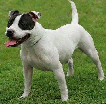 Staffordshire Bull Terriers What S Good About Em What S Bad