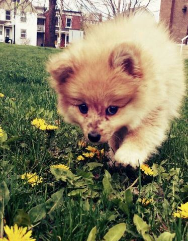 Purebred Male Pomeranian Puppy Dogs Puppies For Rehoming