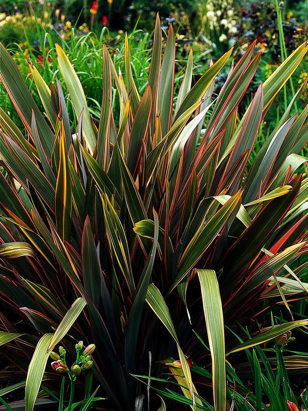 Of Easy To Grow Perennial Phormium Tenax Adds Structural Element Garden The Plants Upright Or Arching Leaves Reach 9 Feet Long And Come In Green