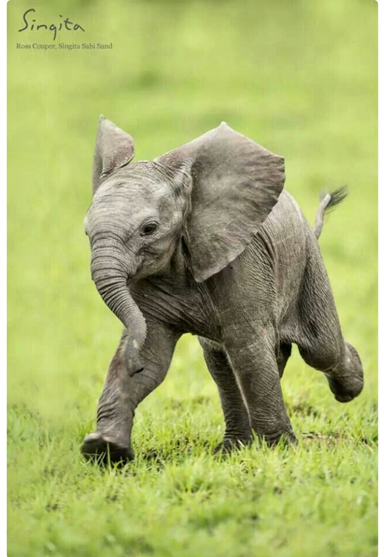 Baby Elephant In A Hurry So Cute Baby Animals Cute Baby Elephant