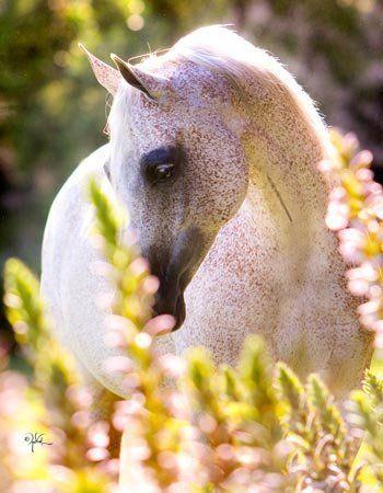 Flea Bitten Arabian | Fleabitten #Gray #Arabian #Horse