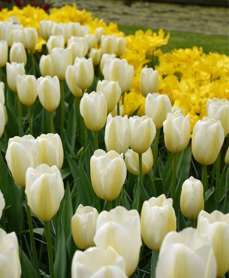 Tulip Francoise Francoise Is A Coveted Scheepers Hybrid Tulip That Flaunts Its Classic Chalice Shape Like Few Othe Tulips Beautiful Flowers Photos Bulb Flowers