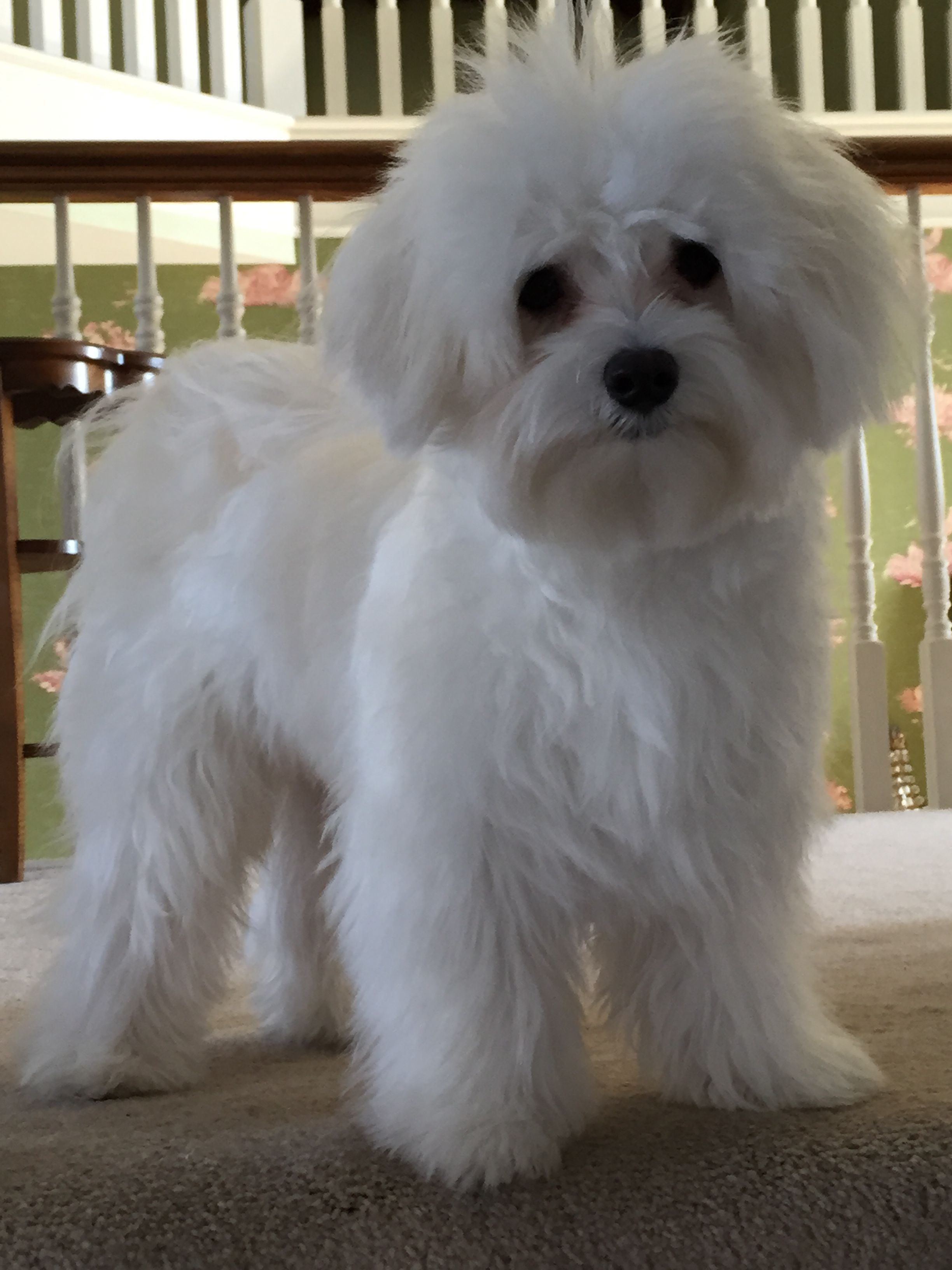 Luigi is nine months old today! Maltese puppy, Cute dogs