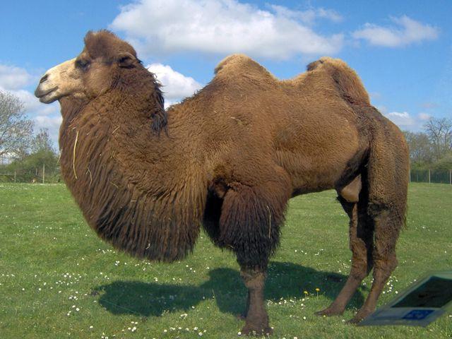 Dromadaire australien   Encyclopédie Larousse en ligne - chameau ... afd609aebf1