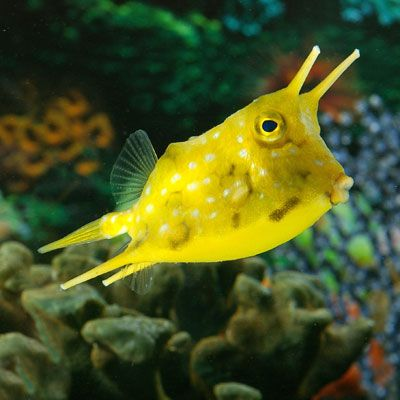 longhorn cowfish live aquarium saltwater fish